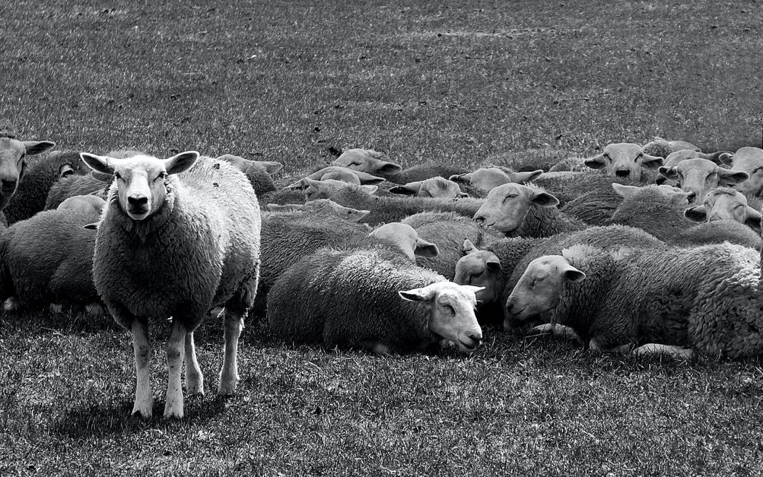 Sheep in a field Marie Dewulf Coach to move on Personal Branding